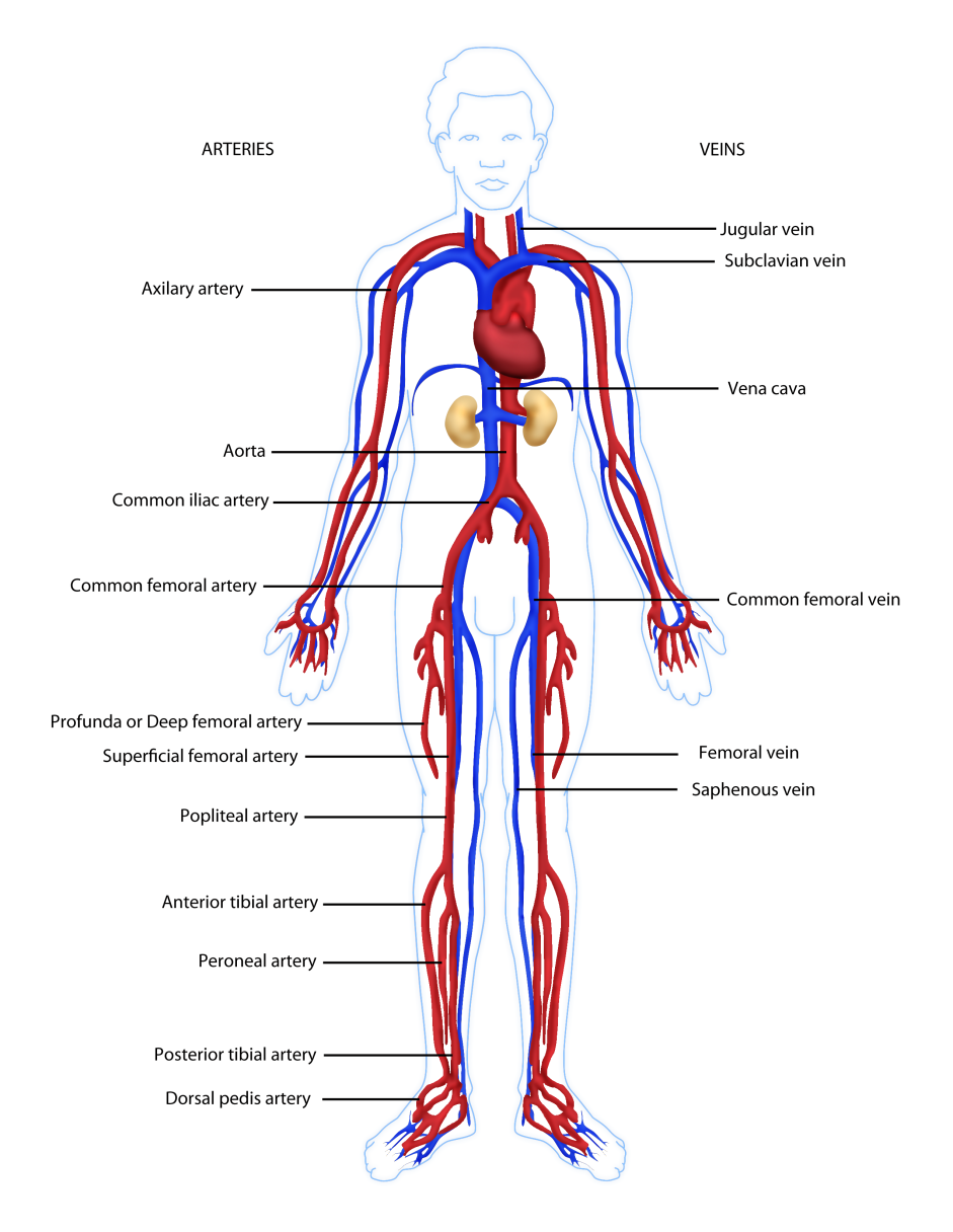 Svn Images Computer Parts Diagram For Kids Of Body Vascular Anatomy